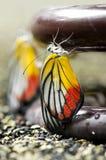 蝴蝶被绘的杰泽贝尔 免版税图库摄影