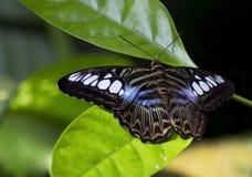 蝴蝶西尔维亚海峡老虎 图库摄影