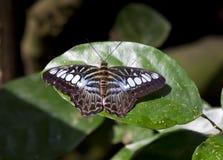 蝴蝶西尔维亚海峡老虎 免版税库存图片