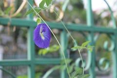 蝴蝶豌豆花 库存照片
