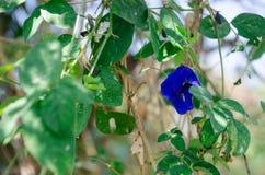 蝴蝶豌豆超级神奇的峰顶沿超级早晨好 库存照片