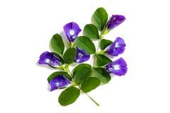 蝴蝶豌豆,在白色背景的美好的紫色花小组 免版税库存照片