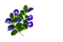 蝴蝶豌豆,在白色背景的美好的紫色花小组 免版税库存图片