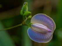 蝴蝶豌豆(妙龄的Centrosema) 图库摄影