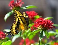 蝴蝶辉煌 库存图片