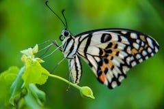 蝴蝶青斑 库存照片