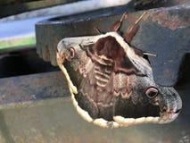 蝴蝶飞蛾晚上其它 库存照片