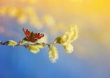蝴蝶飞行和在春天收集花蜜有蓬松意志的 库存图片