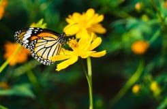 蝴蝶飞行从花到花 免版税库存图片