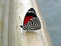 蝴蝶飞过与红色和黑颜色样式 免版税库存图片