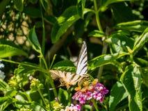 蝴蝶饮用的花蜜 免版税图库摄影
