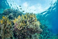 蝴蝶鱼珊瑚礁场面 免版税库存照片