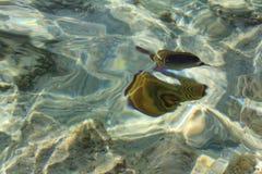 蝴蝶鱼 库存图片