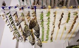 蝴蝶鸡蛋,对有蝴蝶幼虫的一个孵卵站 免版税库存照片