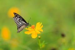 蝴蝶,共同的笑剧(Chilasa clytia) 免版税库存照片