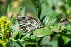 蝴蝶,在一片绿色叶子的Bariatrica 图库摄影