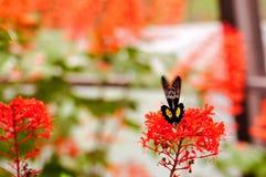 蝴蝶,在飞行中共同的Birdwing 免版税库存照片
