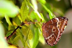 蝴蝶,在绿色叶子的蓝色Morpho下面  免版税图库摄影