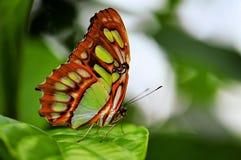 蝴蝶,绿沸铜(Siproeta stelenes) 免版税库存照片