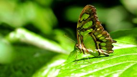 蝴蝶,绿沸铜(Siproeta stelenes) 库存图片