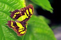 蝴蝶,绿沸铜(Siproeta stelenes) 库存照片