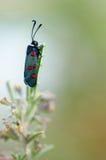 蝴蝶:六斑点Burnet 免版税库存图片