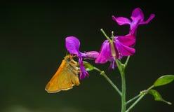蝴蝶从一朵紫色花收集花粉 库存图片