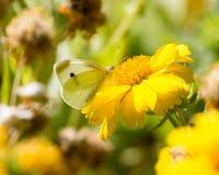 蝴蝶从一朵黄色花收集花粉 免版税库存照片