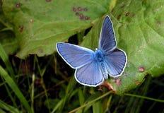 蝴蝶 公用蓝色 库存图片