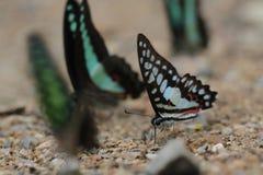 蝴蝶(共同的杰伊)和花 免版税库存图片