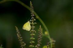 蝴蝶(共同的草黄色)和花 库存照片
