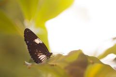 蝴蝶(共同的Punchinello)和花 图库摄影