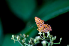 蝴蝶(共同的Punchinello)和花 库存图片