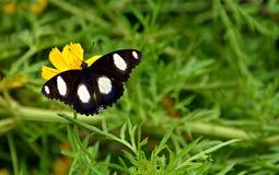 蝴蝶他们吮花蜜 免版税库存图片