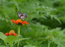 蝴蝶他们吮花蜜 库存照片