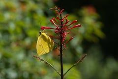 蝴蝶-大橙色硫磺-侧视图 免版税图库摄影