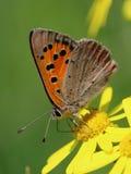 蝴蝶-小铜(Lycaena phlaeas)在草甸 库存照片