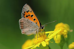 蝴蝶-小铜(Lycaena phlaeas)在草甸 免版税库存图片