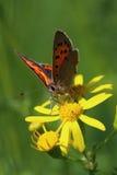 蝴蝶-小铜(Lycaena phlaeas)在草甸 免版税库存照片