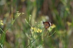 蝴蝶以房东绿色 免版税库存照片