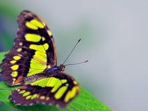 蝴蝶绿沸铜端较大 免版税库存图片