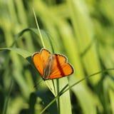 蝴蝶(特别是Colias myrmidone ) 免版税库存照片