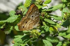 蝴蝶-白色孔雀-侧视图 库存图片