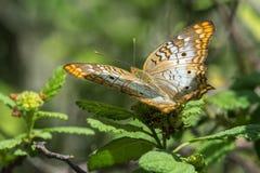 蝴蝶-白色孔雀-顶视图 图库摄影