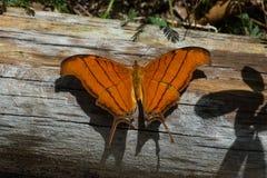蝴蝶-红润Daggerwing -在篱芭的顶视图 库存图片