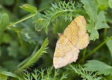 蝴蝶黄色壳 库存图片