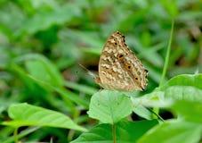 蝴蝶绿色本质 库存图片
