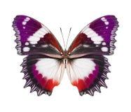 蝴蝶紫色桔子 免版税库存照片