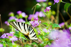 蝴蝶&紫色花 库存照片