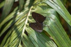蝴蝶-蓝色玻璃状老虎 库存图片